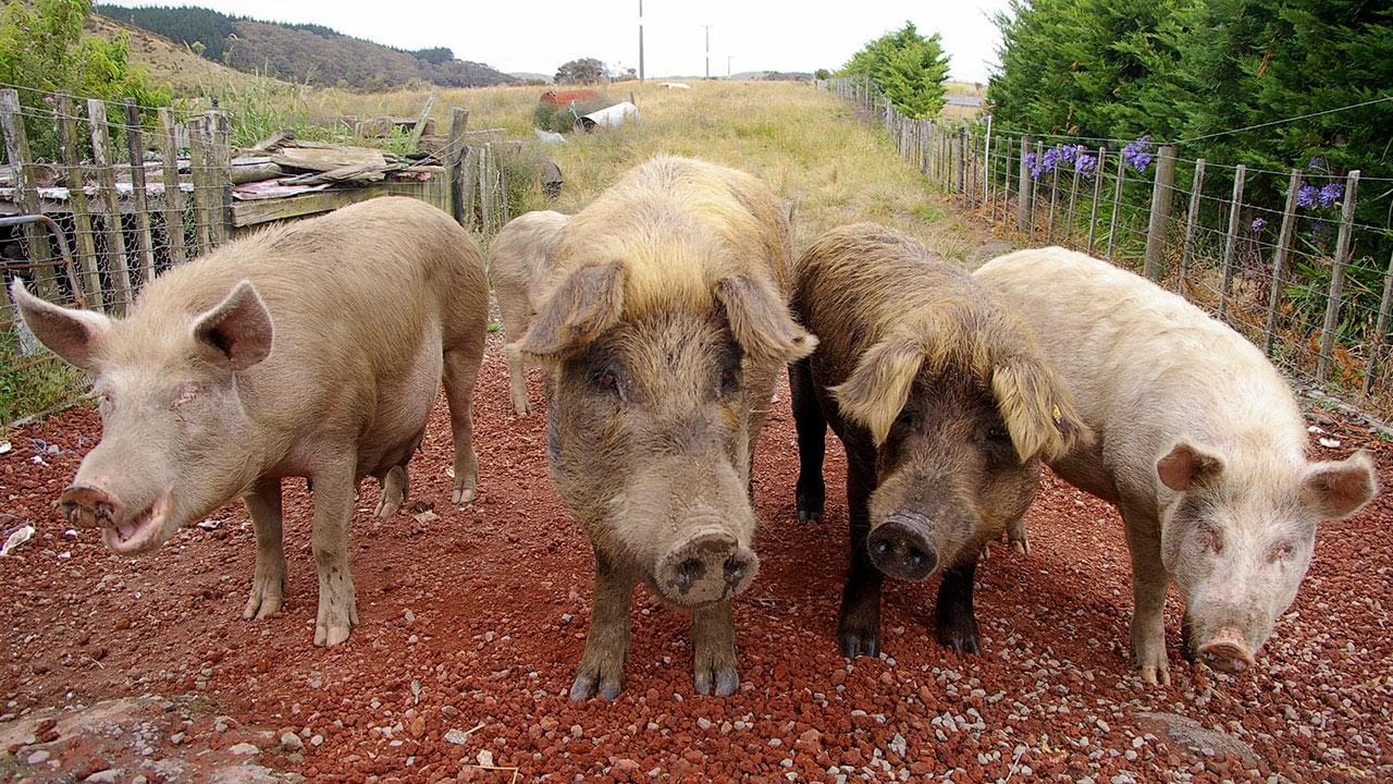 Okinawa - Pigs