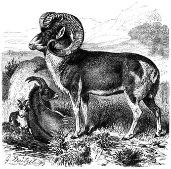 Mouton Marco Polo